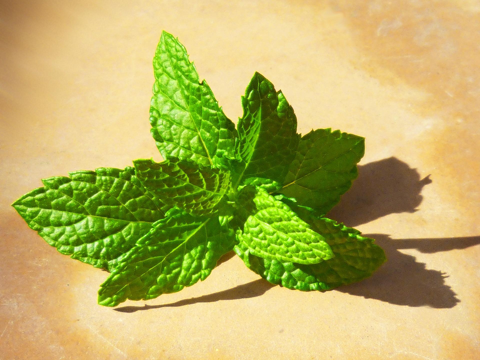 alexis cavelier la menthe, son arôme, sa fraîcheur une plante d